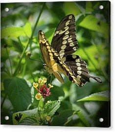 Giant Swallowtail On Lantana Acrylic Print
