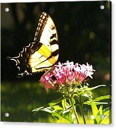 Giant Swallowtail On Penta Acrylic Print