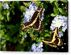 Giant Swallowtails Acrylic Print by Steven Scott