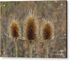 Giant Thistle Burrs        Autumn   Indiana Acrylic Print by Rory Cubel