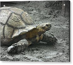 Acrylic Print featuring the photograph Giant Tortoise by Laura DAddona