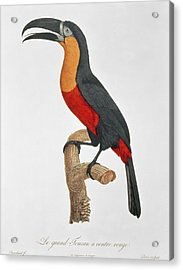 Giant Touraco Acrylic Print by Jacques Barraband