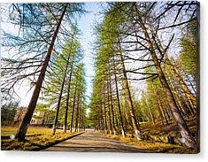 Giant Trees Acrylic Print by Svetlana Sewell