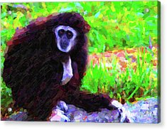 Gibbon Acrylic Print by Wingsdomain Art and Photography
