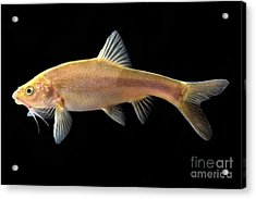 Gii Golden Line Barbel Acrylic Print