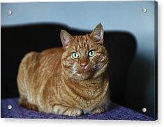 Acrylic Print featuring the photograph Ginger Marmalade Cat by Nareeta Martin