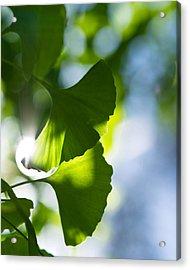 Gingko Leaves In The Sun Acrylic Print