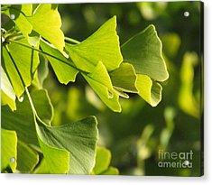 Ginkgo Leaves Acrylic Print