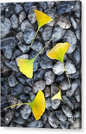 Ginkgo Leaves On Gray Stones Acrylic Print by Laura Iverson