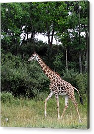 Giraffe 2 Acrylic Print by George Jones