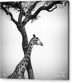 Giraffe And A Tree Acrylic Print by Konstantin Kalishko