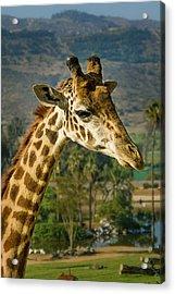 Giraffe Acrylic Print by April Reppucci