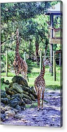 Giraffe Art I Acrylic Print