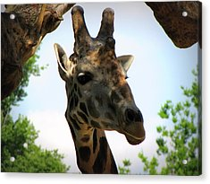 Acrylic Print featuring the photograph Giraffe by Beth Vincent
