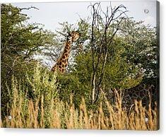 Giraffe Browsing Acrylic Print