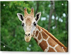 Giraffe Face Acrylic Print by Teresa Blanton