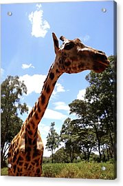Giraffe Getting Personal 3 Acrylic Print