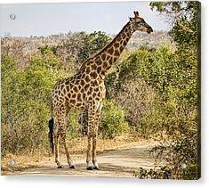 Giraffe Grazing Acrylic Print by Stephen Stookey
