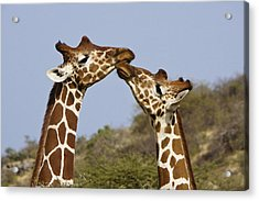 Giraffe Kisses Acrylic Print by Michele Burgess