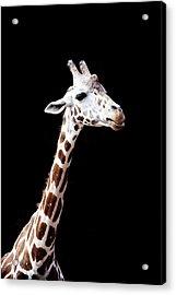 Giraffe Acrylic Print by Lauren Mancke