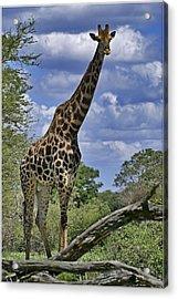 Giraffe Acrylic Print by Mario De Matos