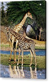 Giraffe Mother And Calf Acrylic Print