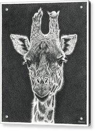 Giraffe Pencil Drawing Acrylic Print