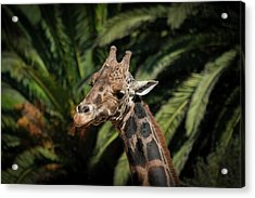 Acrylic Print featuring the photograph Giraffe  by Roger Mullenhour