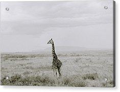 Giraffe Acrylic Print by Shaun Higson