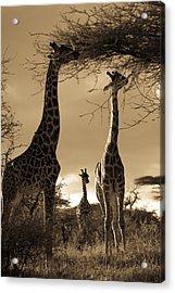 Giraffe Stretch Their Necks To Reach Acrylic Print by Ralph Lee Hopkins