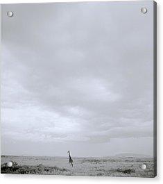 Giraffe Under Big Sky Acrylic Print by Shaun Higson