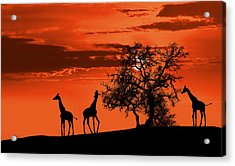 Giraffes At Sunset Acrylic Print by Jaroslaw Grudzinski