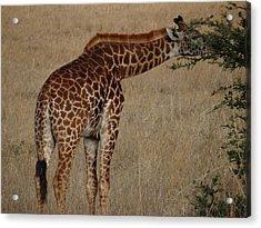 Giraffes Eating - Side View Acrylic Print by Exploramum Exploramum