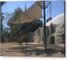 Giraffes Acrylic Print by Guillermo Mason