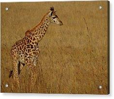 Giraffes On A Walk 2 Acrylic Print