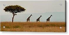 Giraffes On Parade Acrylic Print