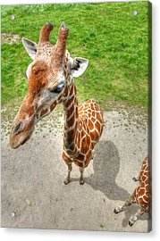 Giraffe's Point Of View Acrylic Print by Michael Garyet