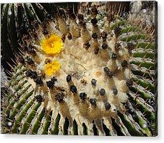 Giving Birth Barrel Cactus Yellow Flowers Acrylic Print