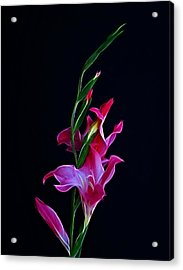 Gladiola Opening Acrylic Print by Sandy Keeton