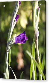 Glads 1st Bloom Acrylic Print by Robert Joseph