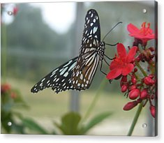 Glass Wing Butterfly Acrylic Print by James and Vickie Rankin