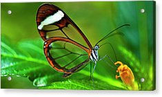 Acrylic Print featuring the photograph Glasswinged Butterfly by Ralph A Ledergerber