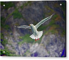 Glaucous-winged Gull Acrylic Print