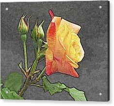 Glenn's Rose 2 Acrylic Print by Michael Peychich