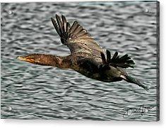 Gliding Cormorant Acrylic Print