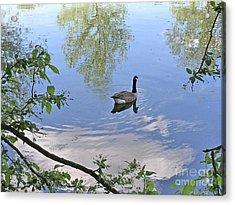 Gliding Goose Acrylic Print