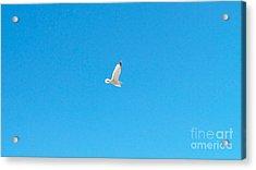Gliding Seagull Acrylic Print