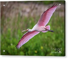 Acrylic Print featuring the photograph Gliding Spoonbill by Tom Claud