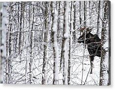 Glimpse Of Bull Moose Acrylic Print