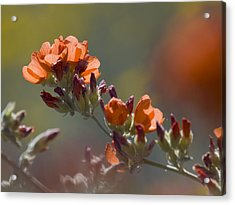 Globe Mallow Bloom Acrylic Print